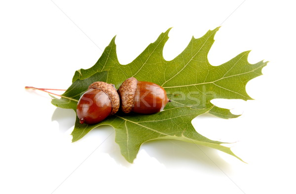 Two connected acorns on leaf isolated on white background Stock photo © dla4