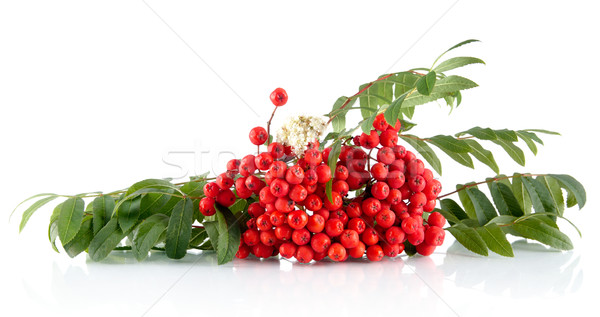 Rowanberry with leaves isolated on white background Stock photo © dla4