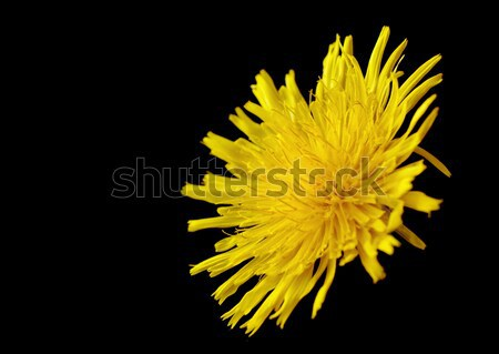 Yellow poisonous wildflower on black as sonchus arvensis Stock photo © dla4