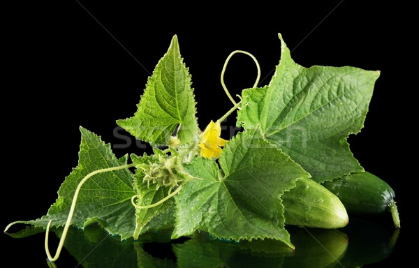 Az taze salatalık çiçek yalıtılmış Stok fotoğraf © dla4