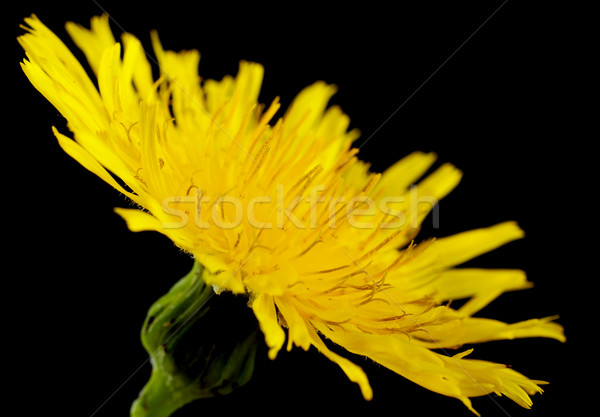 Closeup yellow poisonous wildflower on black as sonchus arvensis Stock photo © dla4