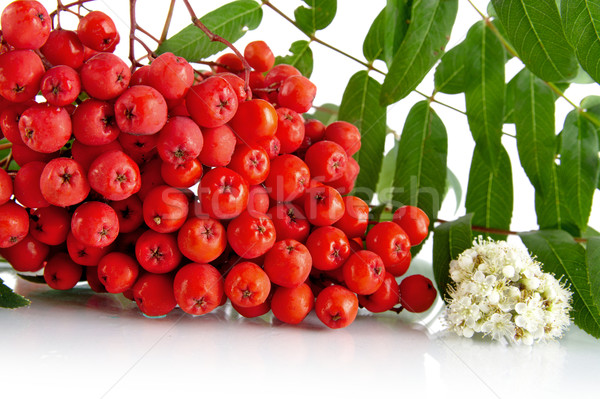 Cropped studio shot of red ash-berry on white Stock photo © dla4