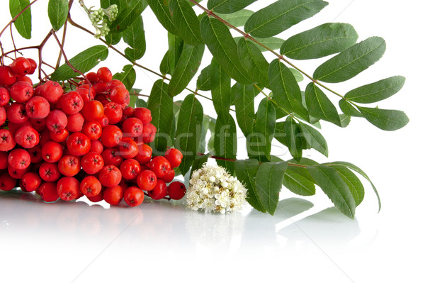Cropped studio shot of red rowanberry on white Stock photo © dla4