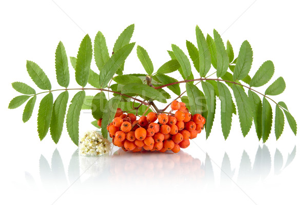 Orange rowanberry with flower isolated on white background Stock photo © dla4