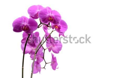 Stockfoto: Macro · shot · roze · orchidee · geïsoleerd · witte