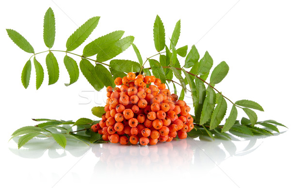 Stock photo: Orange mountain ash with leaves isolated on white background