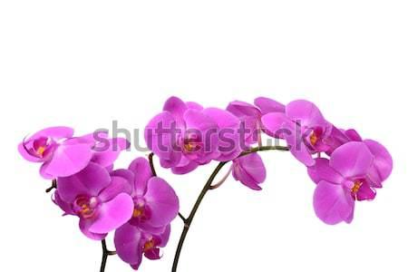 Macro tiro rosa orquídea isolado branco Foto stock © dla4