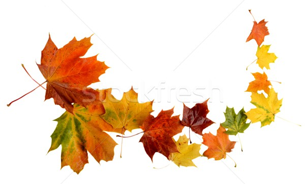 Autumn leaves during blizzard isolated on white Stock photo © dla4