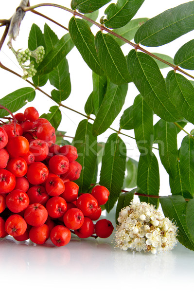 Cropped studio shot of red mountain ash on white Stock photo © dla4