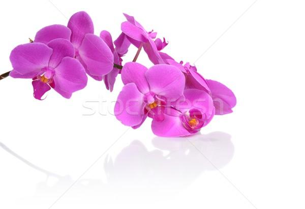 Stockfoto: Afbeelding · roze · orchidee · reflectie · geïsoleerd