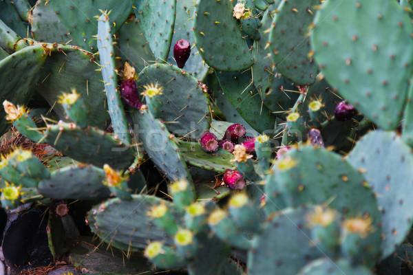 Yeşil kaktüs çiçekler iğneler çiçek kırmızı Stok fotoğraf © dmitriisimakov