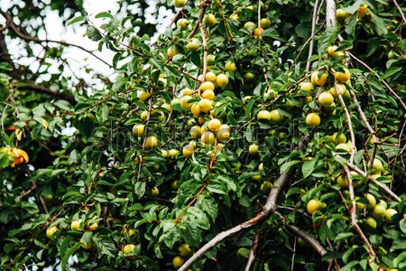 fruit tree with fruits of green plums Stock photo © dmitriisimakov