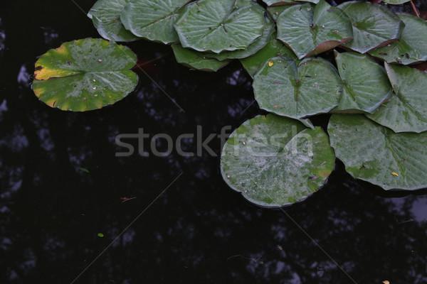 Bitki su lilyum gölet çiçek güzellik Stok fotoğraf © dmitriisimakov