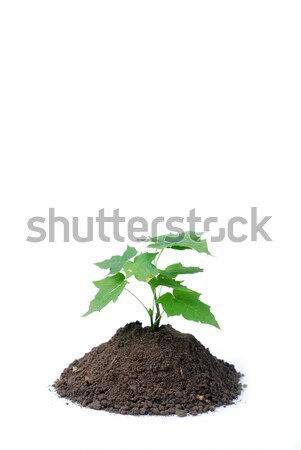 hand of woman and green sprout Stock photo © dmitroza