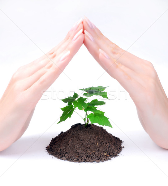 hands of woman and green sprout Stock photo © dmitroza