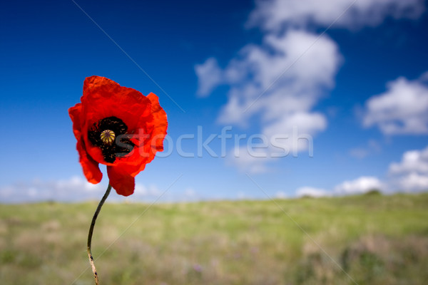 Red poppy Stock photo © dmitroza