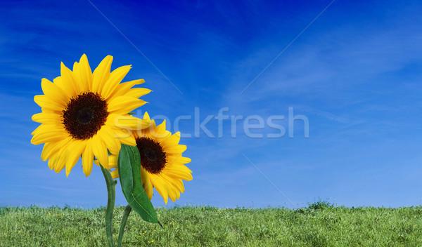 Céu grama girassol beleza natureza grama verde Foto stock © dmitroza