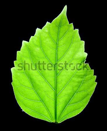 Groen blad groene vers blad schoonheid groei Stockfoto © dmitroza