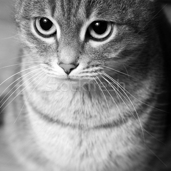 striped cat Stock photo © dmitroza