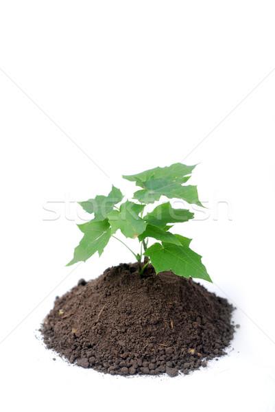 緑 芽 地上 小さな ツリー 葉 ストックフォト © dmitroza