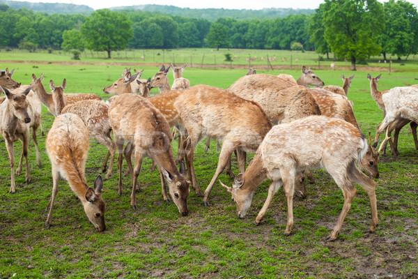 Herten weide buitenshuis eten groen gras mooie Stockfoto © dmitroza