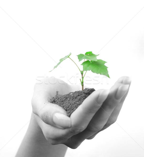Hand vrouw groene spruit boom palm Stockfoto © dmitroza