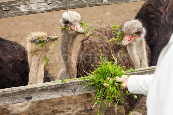 Manger herbe fraîches herbe verte nature été Photo stock © dmitroza
