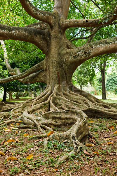 Tree roots Stock photo © dmitry_rukhlenko