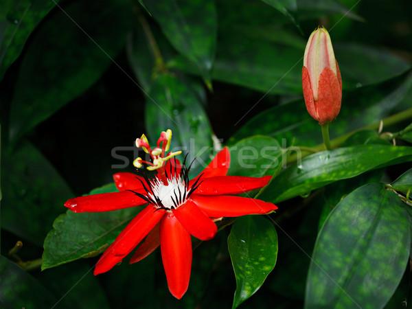 Red Passion Flower Stock photo © dmitry_rukhlenko