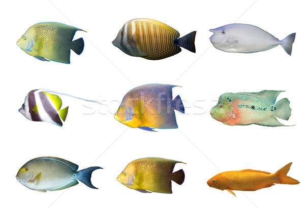 Selection of tropical coral fishes isolated Stock photo © dmitry_rukhlenko