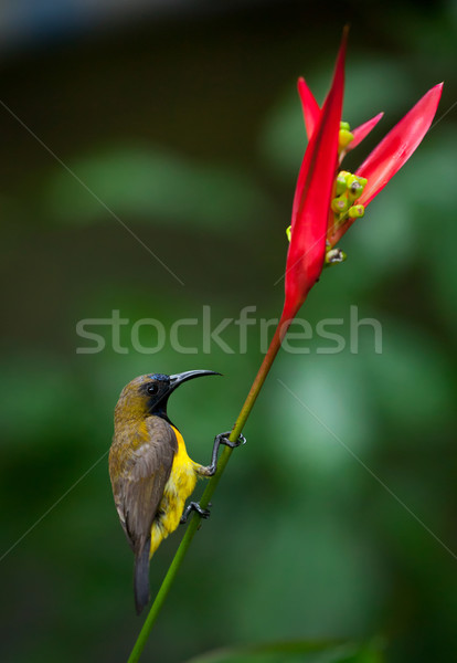 Olive-backed Sunbird ( Cinnyris jugularis ) Stock photo © dmitry_rukhlenko