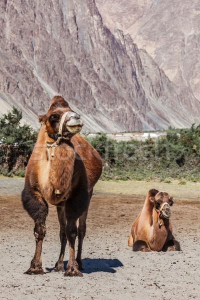 Camelo camelos himalaia aldeia vale céu Foto stock © dmitry_rukhlenko