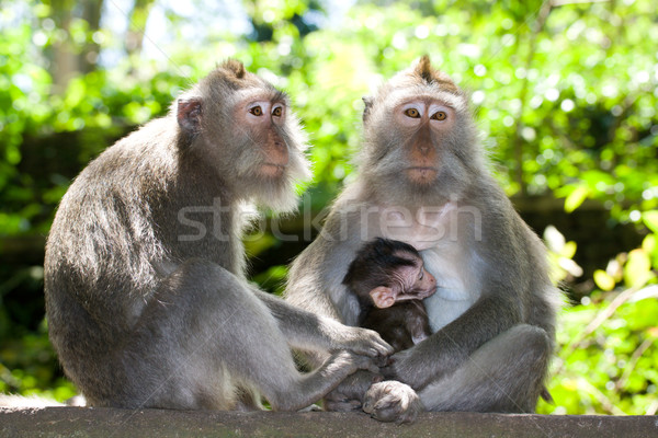 Monkey family - long tailed macaques Stock photo © dmitry_rukhlenko