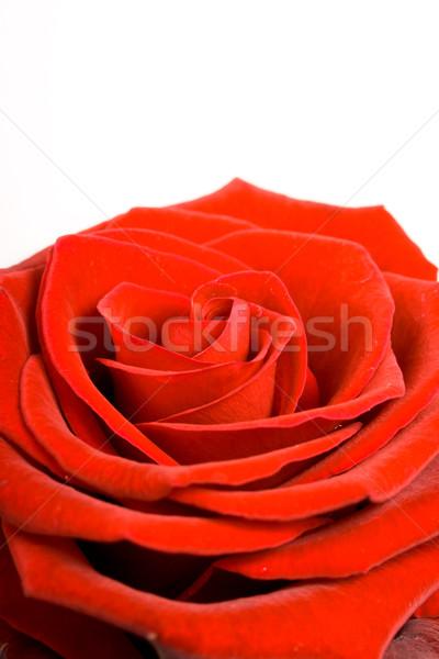 Stok fotoğraf: Kırmızı · gül · beyaz · çiçekler · gül · yaprak