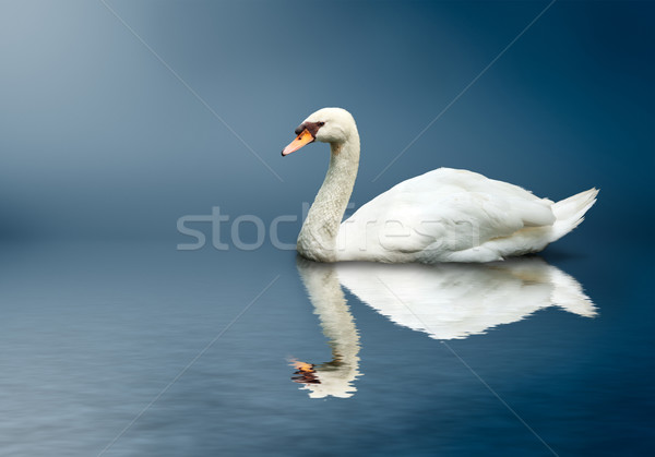 Mute Swan (Cygnus olor) Stock photo © dmitry_rukhlenko