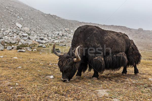 Yak grazing in Himalayas Stock photo © dmitry_rukhlenko