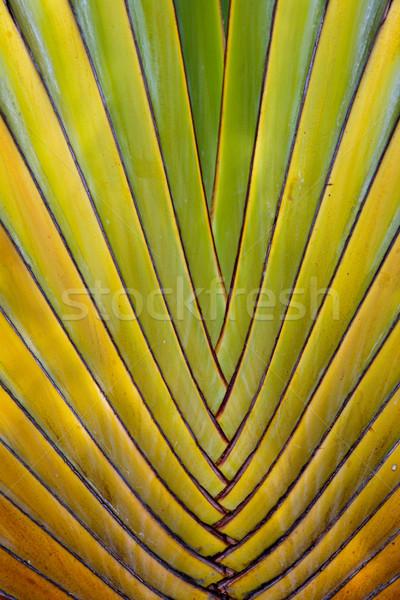 Pálmalevelek Mexikó pálma zöld Stock fotó © dmitry_rukhlenko