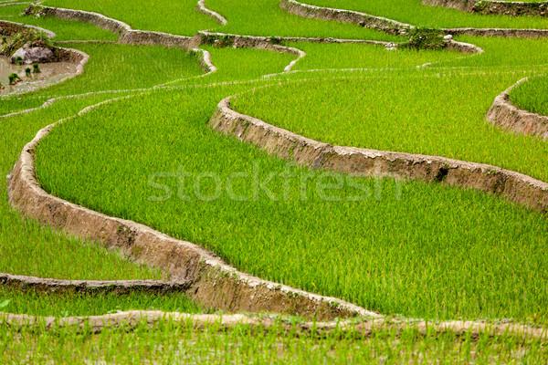 Riz Viêt-Nam rizière chat village nature Photo stock © dmitry_rukhlenko