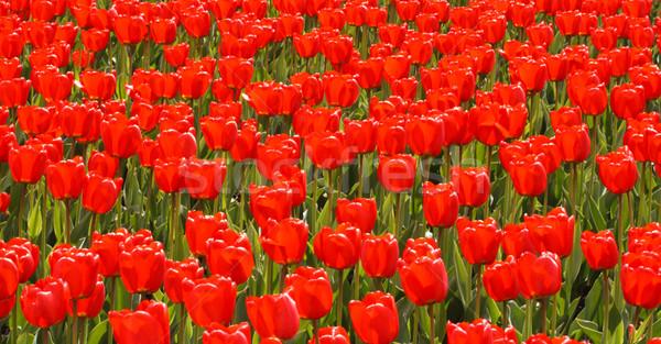 Domaine rouge tulipes fleur fleurs nature Photo stock © dmitry_rukhlenko
