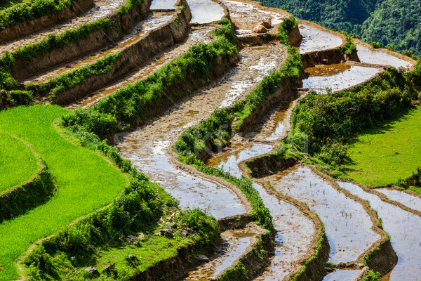 Rijstveld rijst kat dorp natuur asia Stockfoto © dmitry_rukhlenko