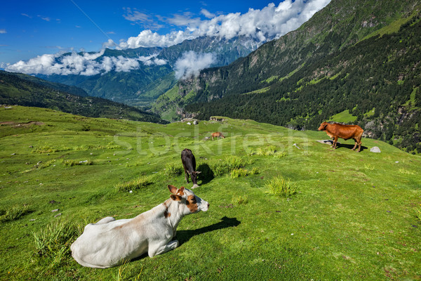 Stock photo: Cows grazing in Himalayas