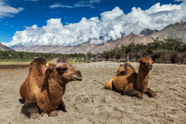 Kameel kamelen himalayas dorp vallei hemel Stockfoto © dmitry_rukhlenko
