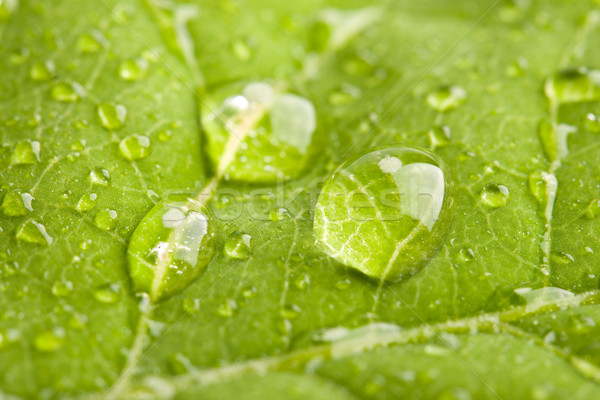 Green leaf with water droplets Stock photo © dmitry_rukhlenko