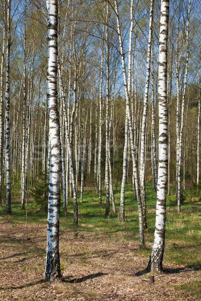 Nyírfa liget tavasz fű erdő természet Stock fotó © dmitry_rukhlenko