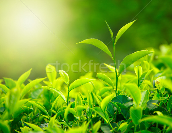 Tea bud and leaves Stock photo © dmitry_rukhlenko