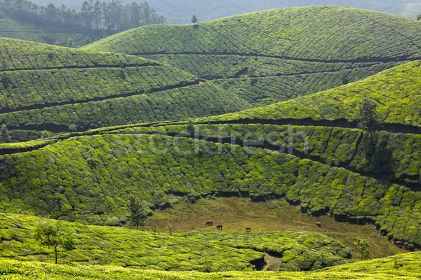 Tea égbolt levél zöld hegyek Ázsia Stock fotó © dmitry_rukhlenko