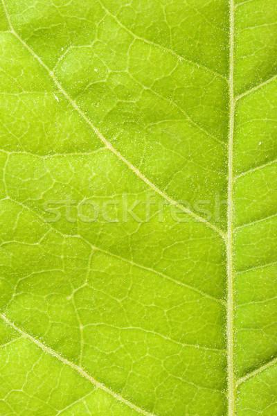 Feuille verte vert usine macro Photo stock © dmitry_rukhlenko