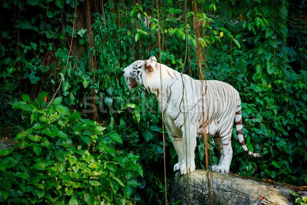 White tiger Stock photo © dmitry_rukhlenko