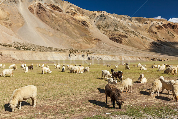 Nyáj birka kecskék Himalája hegy fehér Stock fotó © dmitry_rukhlenko
