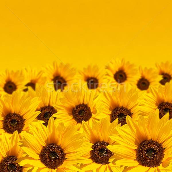 Ayçiçeği bo gökyüzü doğa arka plan sarı Stok fotoğraf © dmitry_rukhlenko